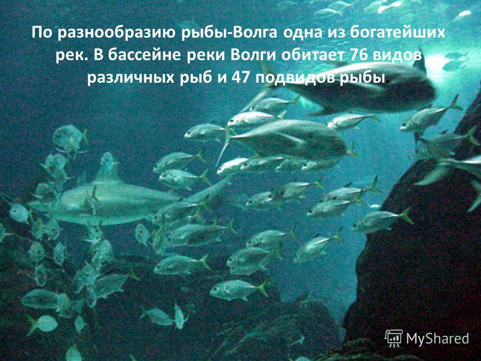 По разнообразию рыбы-Волга одна из богатейших рек. В бассейне реки Волги обитает 76 видов различных рыб и 47 подвидов рыбы.