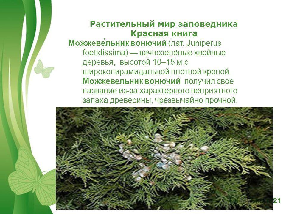 Free Powerpoint TemplatesPage 21 Растительный мир заповедника Красная книга Можжеве́ельник вонючий (лат. Juniperus foetidissima) вечнозелёные хвойные деревья, высотой 10–15 м с широкопирамидальной плотной кроной. Можжевеельник вонючий получил свое на