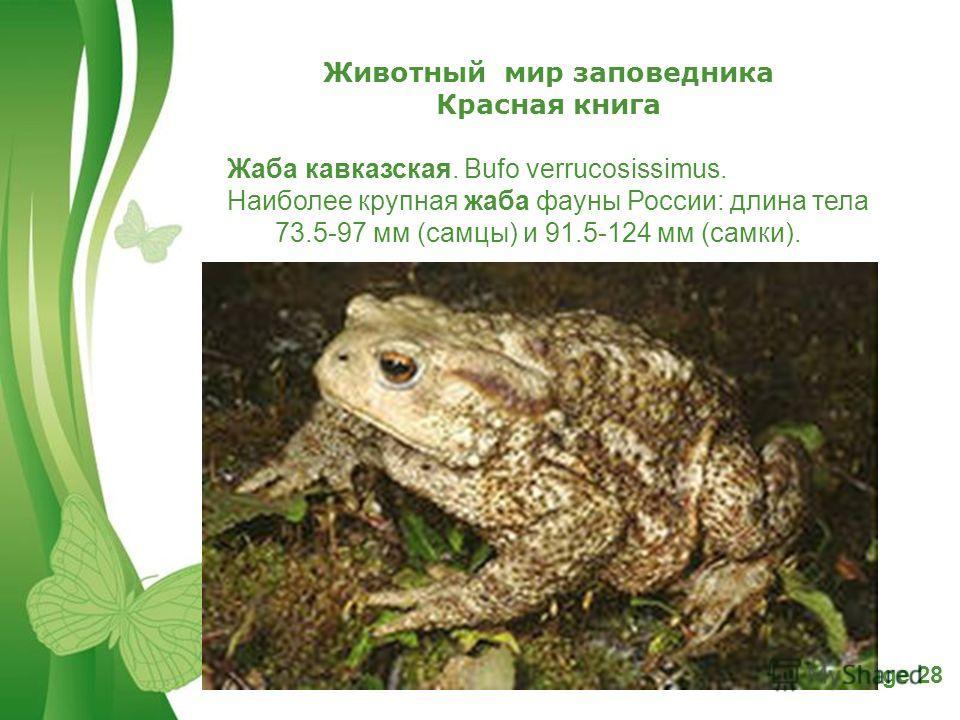 Free Powerpoint TemplatesPage 28 Животный мир заповедника Красная книга Жаба кавказская. Bufo verrucosissimus. Наиболее крупная жаба фауны России: длина тела 73.5-97 мм (самцы) и 91.5-124 мм (самки).