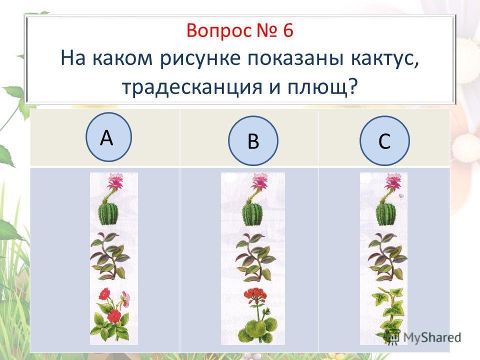 Вопрос 6 На каком рисунке показаны кактус, традесканция и плющ? А BC