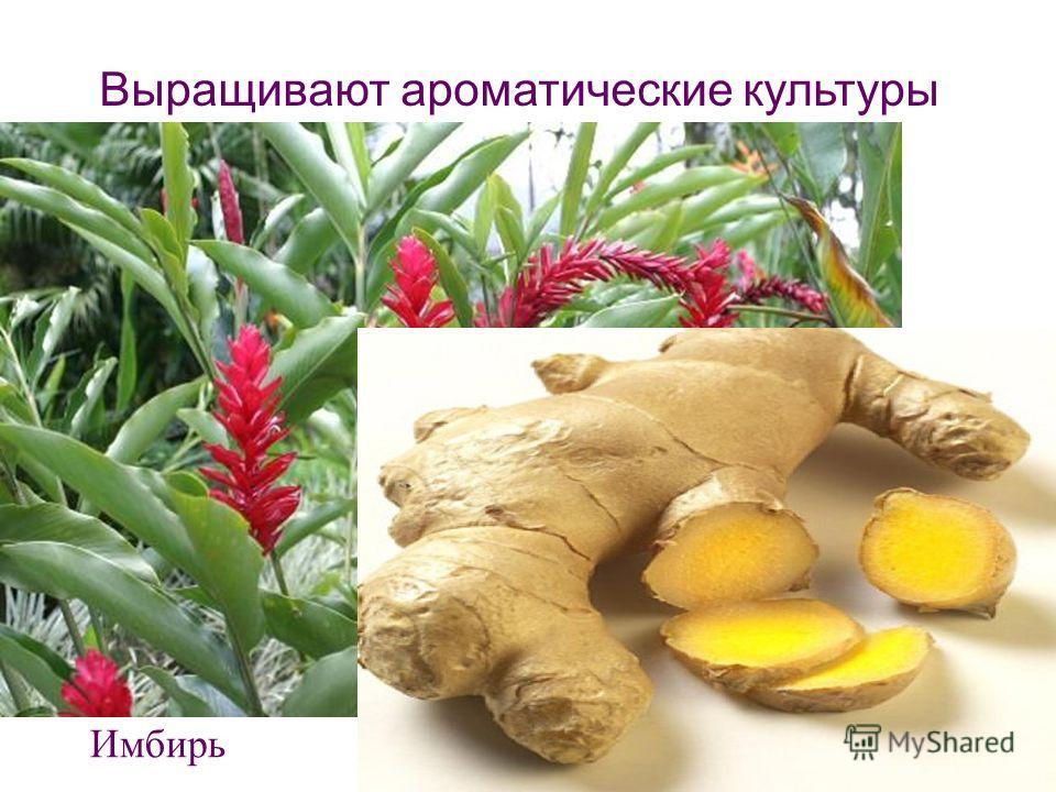Выращивают ароматические культуры Имбирь