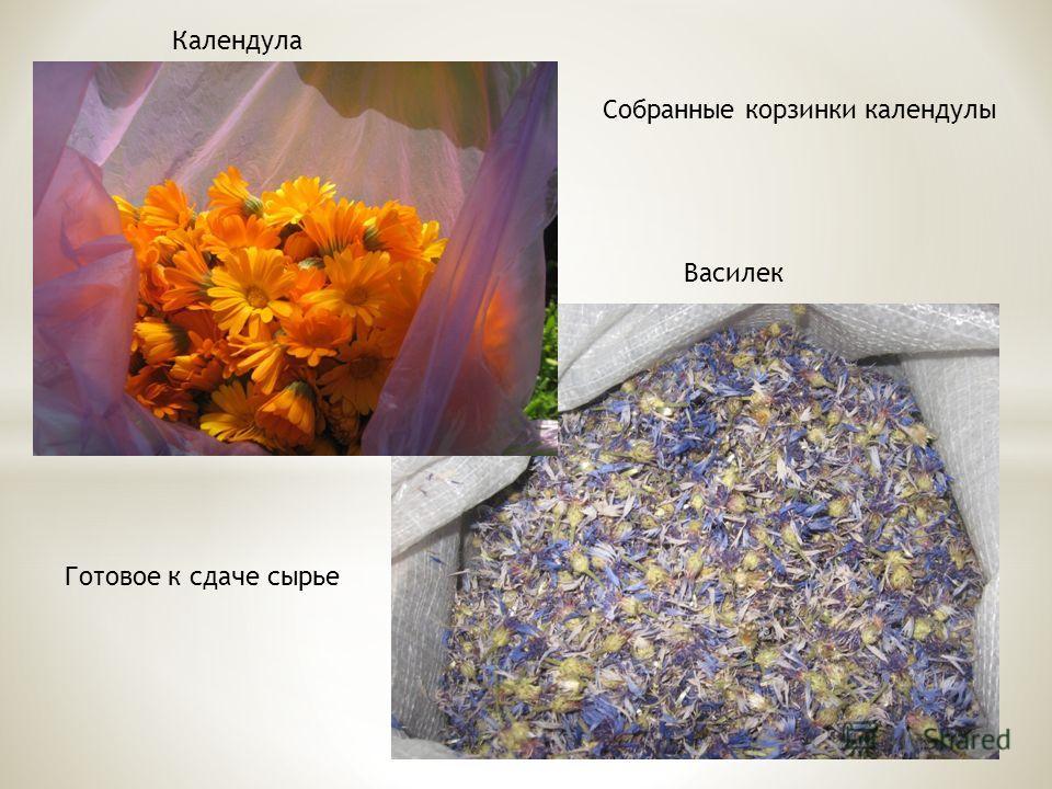 Собранные корзинки календулы Готовое к сдаче сырье Календула Василек