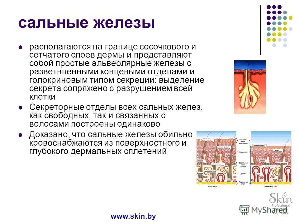 сальные железы располагаются на границе сосочкового и сетчатого слоев дермы и представляют собой простые альвеолярные железы с разветвленными концевыми отделами и голокриновым типом секреции: выделение секрета сопряжено с разрушением всей клетки Секр