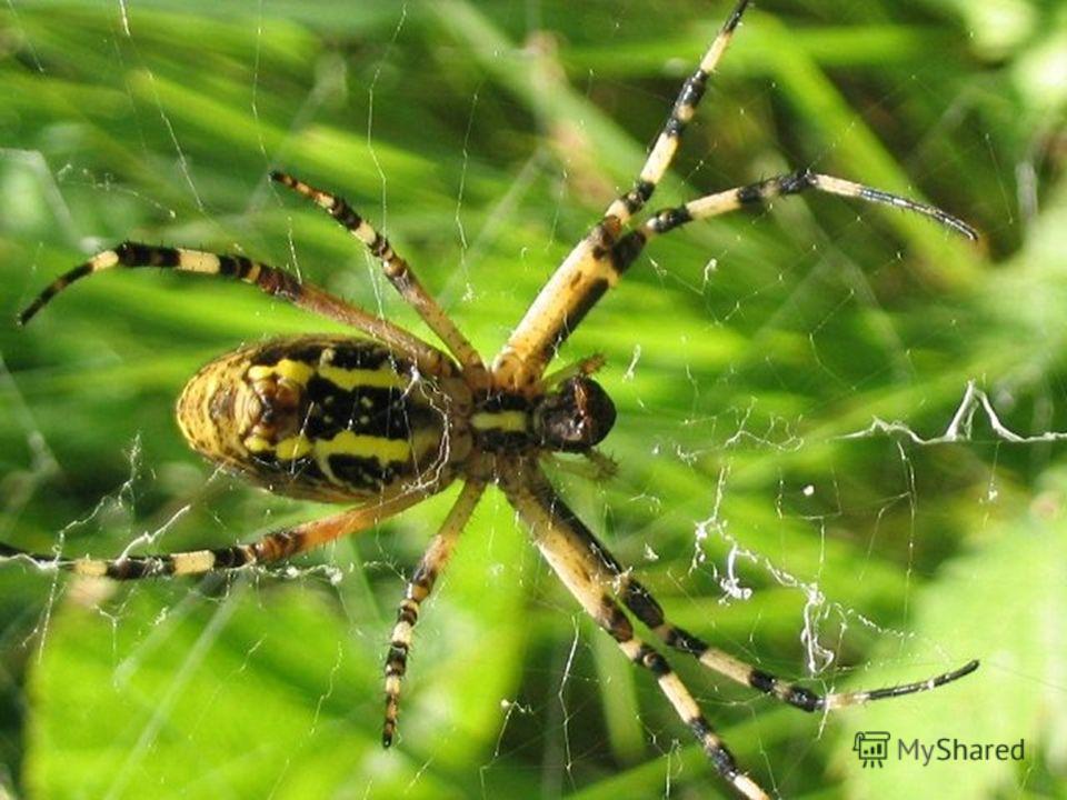 Один из наиболее распространенных пауков, эпейра, сплетая паутину, закручивают нити вокруг центра по логарифмической спирали.