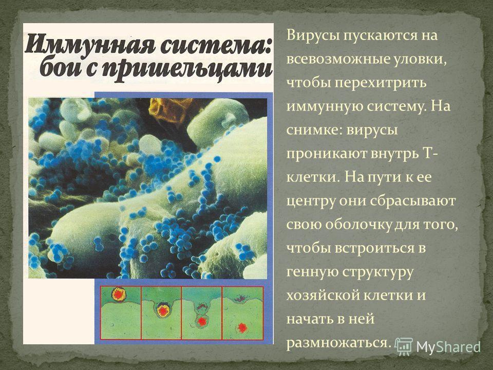 Вирусы пускаются на всевозможные уловки, чтобы перехитрить иммунную систему. На снимке: вирусы проникают внутрь Т- клетки. На пути к ее центру они сбрасывают свою оболочку для того, чтобы встроиться в генную структуру хозяйской клетки и начать в ней