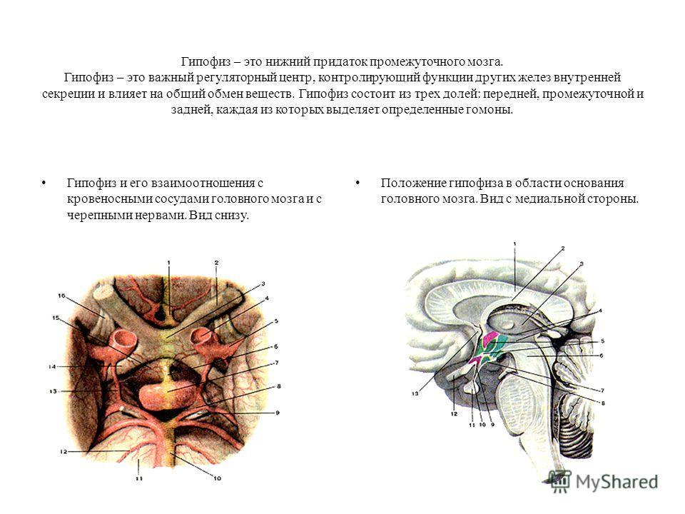 Гипофиз – это нижний придаток промежуточного мозга. Гипофиз – это важный регуляторный центр, контролирующий функции других желез внутренней секреции и влияет на общий обмен веществ. Гипофиз состоит из трех долей: передней, промежуточной и задней, каж