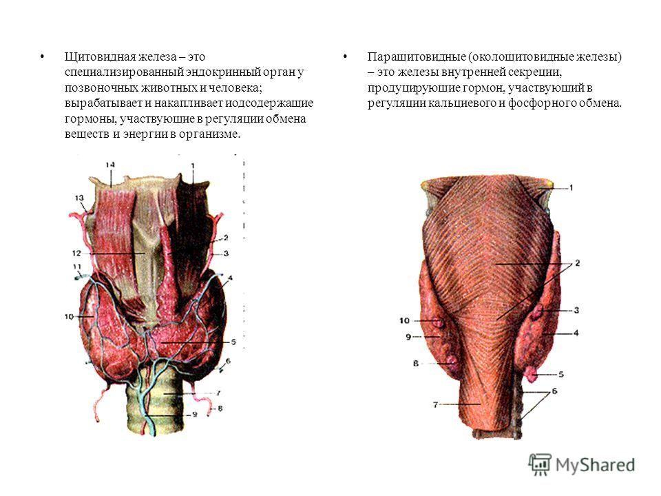Щитовидная железа – это специализированный эндокринный орган у позвоночных животных и человека; вырабатывает и накапливает йодсодержащие гормоны, участвующие в регуляции обмена веществ и энергии в организме. Паращитовидные (околощитовидные железы) –
