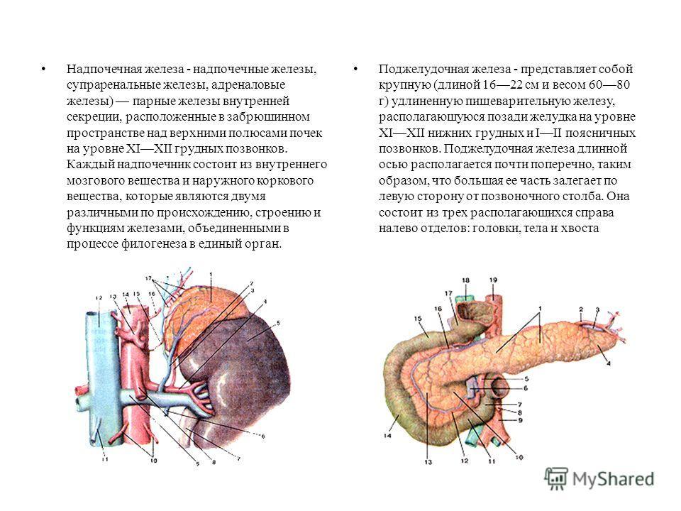 Надпочечная железа - надпочечные железы, супраренальные железы, адреналовые железы) парные железы внутренней секреции, расположенные в забрюшинном пространстве над верхними полюсами почек на уровне XIXII грудных позвонков. Каждый надпочечник состоит