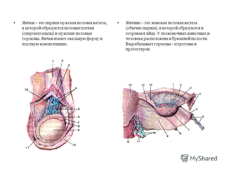 Яички – это парная мужская половая железа, в которой образуются половые клетки (сперматозоиды) и мужские половые гормоны. Яички имеют овальную форму и плотную консистенцию. Яичник – это женская половая железа (обычно парная), в которой образуются и с