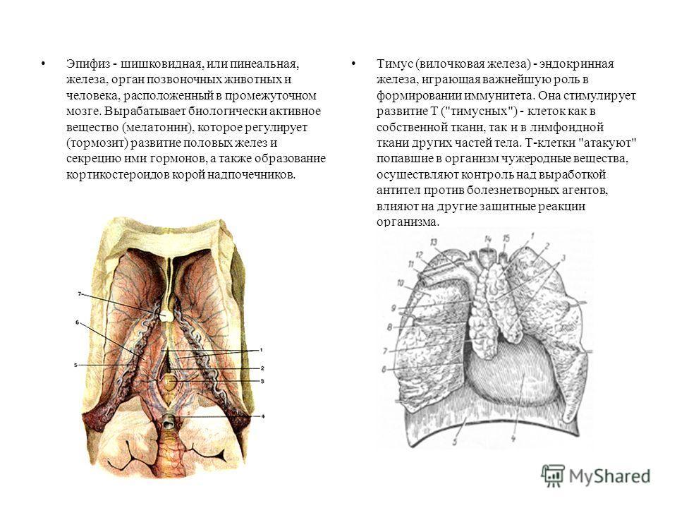 Эпифиз - шишковидная, или пинеальная, железа, орган позвоночных животных и человека, расположенный в промежуточном мозге. Вырабатывает биологически активное вещество (мелатонин), которое регулирует (тормозит) развитие половых желез и секрецию ими гор