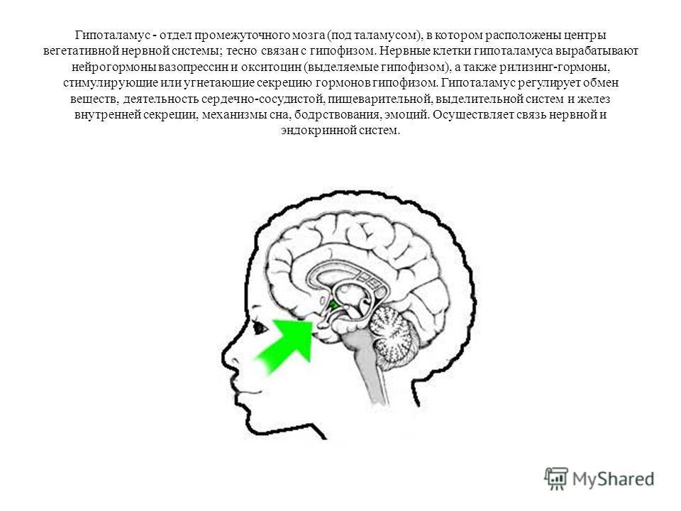 Гипоталамус - отдел промежуточного мозга (под таламусом), в котором расположены центры вегетативной нервной системы; тесно связан с гипофизом. Нервные клетки гипоталамуса вырабатывают нейрогормоны вазопрессин и окситоцин (выделяемые гипофизом), а так