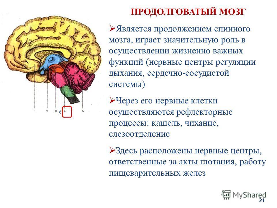 6 ПРОДОЛГОВАТЫЙ МОЗГ Является продолжением спинного мозга, играет значительную роль в осуществлении жизненно важных функций (нервные центры регуляции дыхания, сердечно-сосудистой системы) Через его нервные клетки осуществляются рефлекторные процессы: