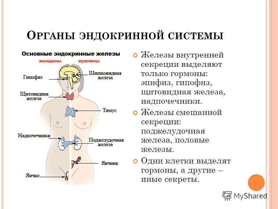 О РГАНЫ ЭНДОКРИННОЙ СИСТЕМЫ Железы внутренней секреции выделяют только гормоны: эпифиз, гипофиз, щитовидная железа, надпочечники. Железы смешанной секреции: поджелудочная железа, половые железы. Одни клетки выделят гормоны, а другие – иные секреты.