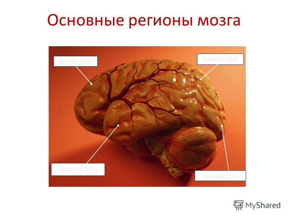Occipital Lobe Frontal Lobe Parietal Lobe Temporal Lobe Основные регионы мозга