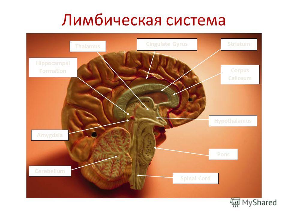 Pons Spinal Cord Cerebellum Amygdala Thalamus Hypothalamus Hippocampal Formation Corpus Callosum Cingulate GyrusStriatum Лимбическая система