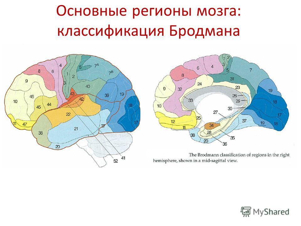 Основные регионы мозга: классификация Бродмана