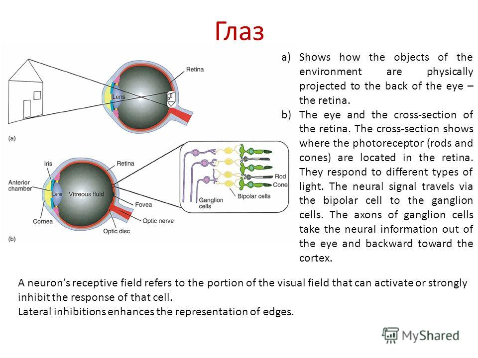 Глаз a)Shows how the objects of the environment are physically projected to the back of the eye – the retina. b)The eye and the cross-section of the retina. The cross-section shows where the photoreceptor (rods and cones) are located in the retina. T