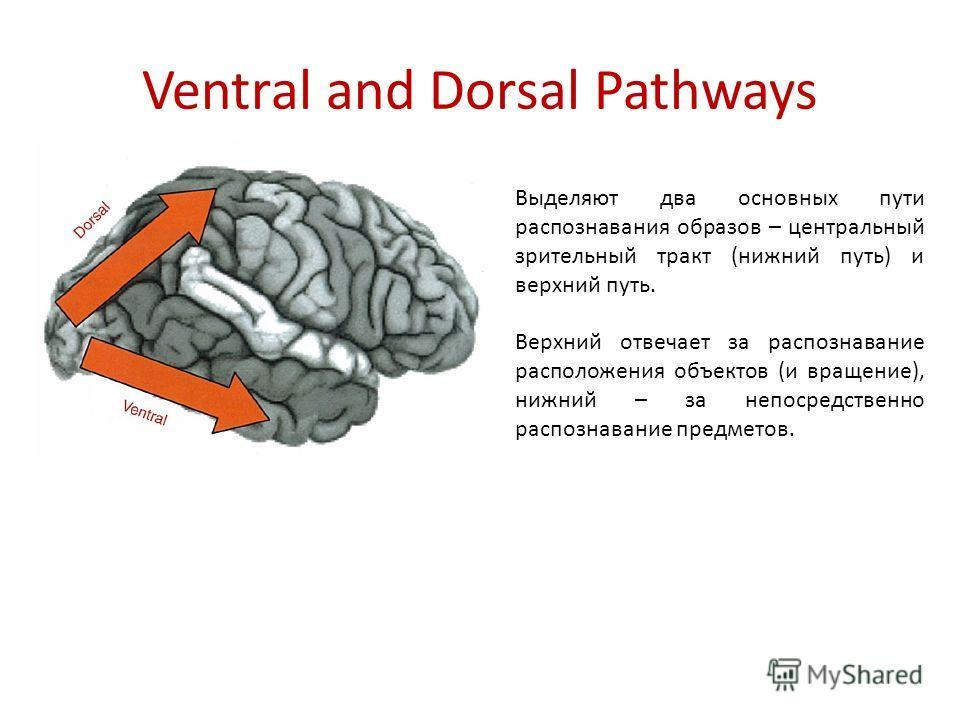 Ventral and Dorsal Pathways Выделяют два основных пути распознавания образов – центральный зрительный тракт (нижний путь) и верхний путь. Верхний отвечает за распознавание расположения объектов (и вращение), нижний – за непосредственно распознавание