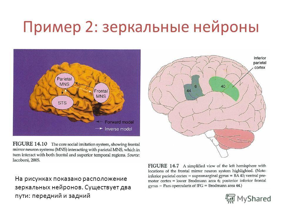 На рисунках показано расположение зеркальных нейронов. Существует два пути: передний и задний