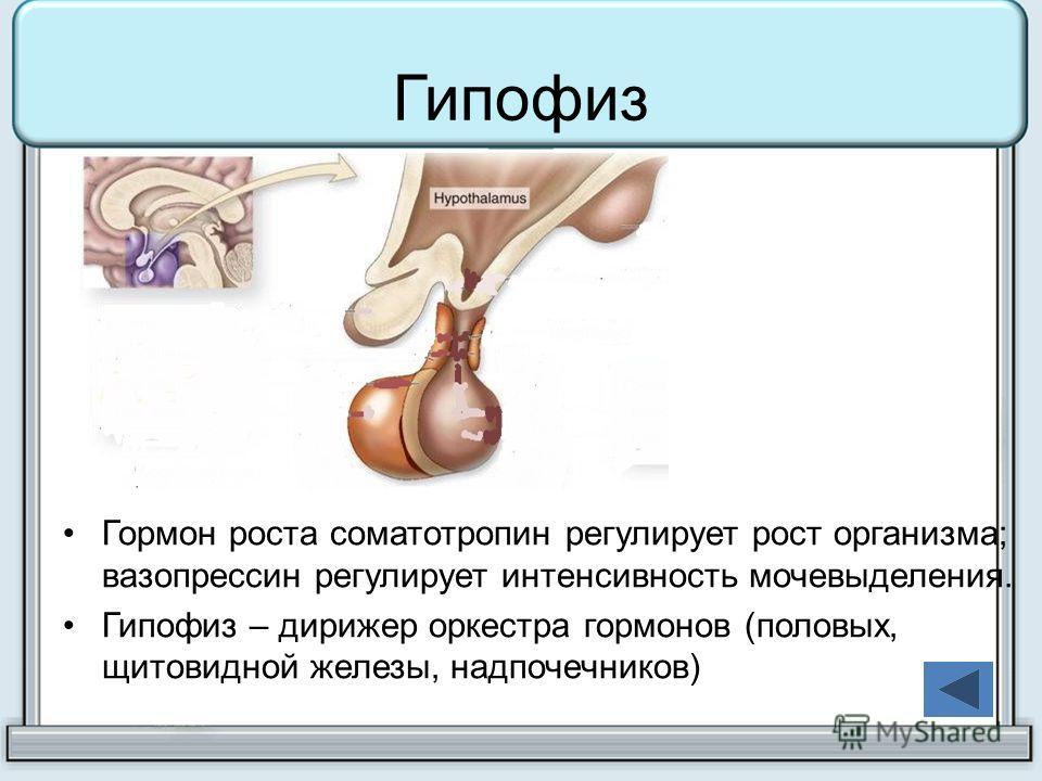 Гипофиз Гормон роста соматотропин регулирует рост организма; вазопрессин регулирует интенсивность мочевыделения. Гипофиз – дирижер оркестра гормонов (половых, щитовидной железы, надпочечников)