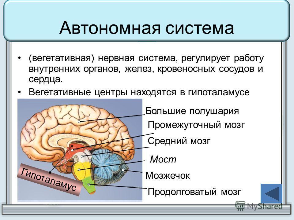 Автономная система (вегетативная) нервная система, регулирует работу внутренних органов, желез, кровеносных сосудов и сердца. Вегетативные центры находятся в гипоталамусе Гипоталамус Большие полушария Промежуточный мозг Средний мозг Мост Мозжечок Про