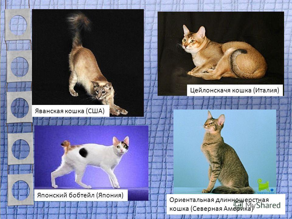 Ориентальная длинношерстная кошка (Северная Америка) Яванская кошка (США) Японский бобтейл (Япония) Цейлонскачя кошка (Италия)