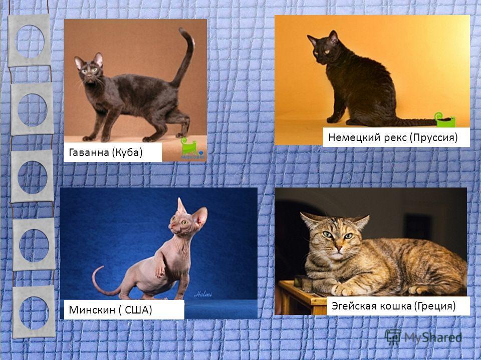 Немецкий рекс (Пруссия) Гаванна (Куба) Минскин ( США) Эгейская кошка (Греция)