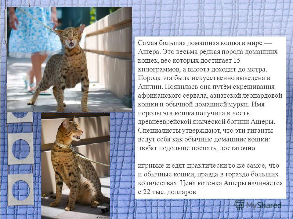Самая большая домашняя кошка в мире Ашера. Это весьма редкая порода домашних кошек, вес которых достигает 15 килограммов, а высота доходит до метра. Порода эта была искусственно выведена в Англии. Появилась она путём скрещивания африканского сервала,