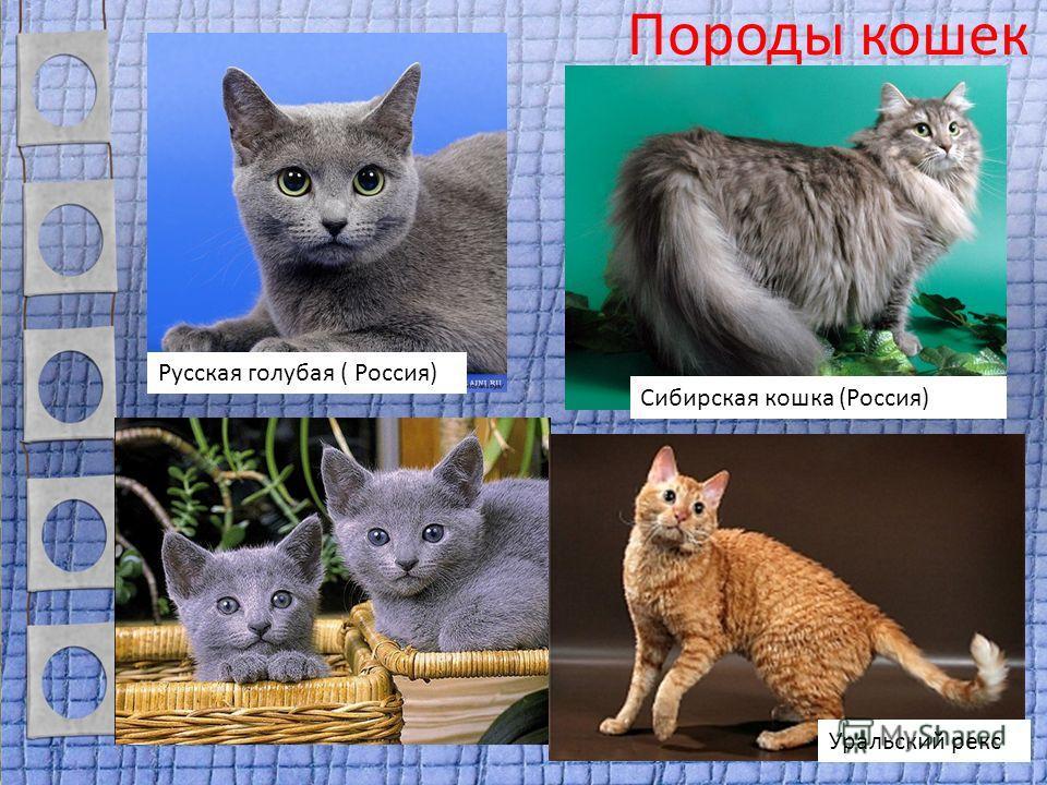 Породы кошек Русская голубая ( Россия) Сибирская кошка (Россия) Уральский рекс