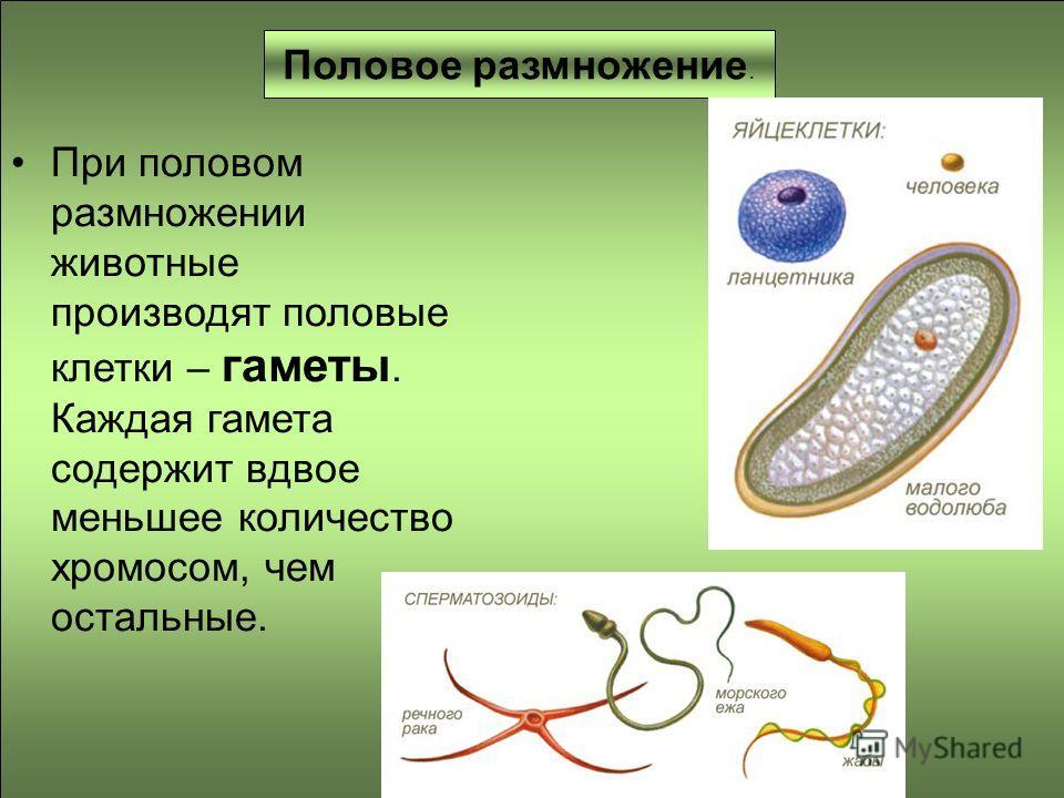 Половое размножение. При половом размножении животные производят половые клетки – гаметы. Каждая гамета содержит вдвое меньшее количество хромосом, чем остальные.