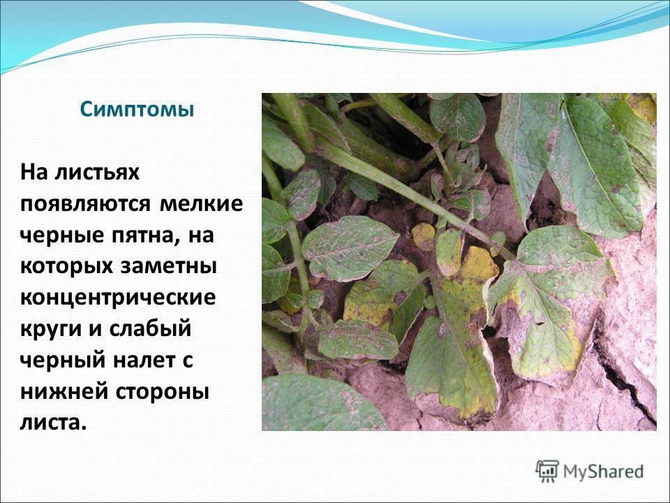 Симптомы На листьях появляются мелкие черные пятна, на которых заметны концентрические круги и слабый черный налет с нижней стороны листа.