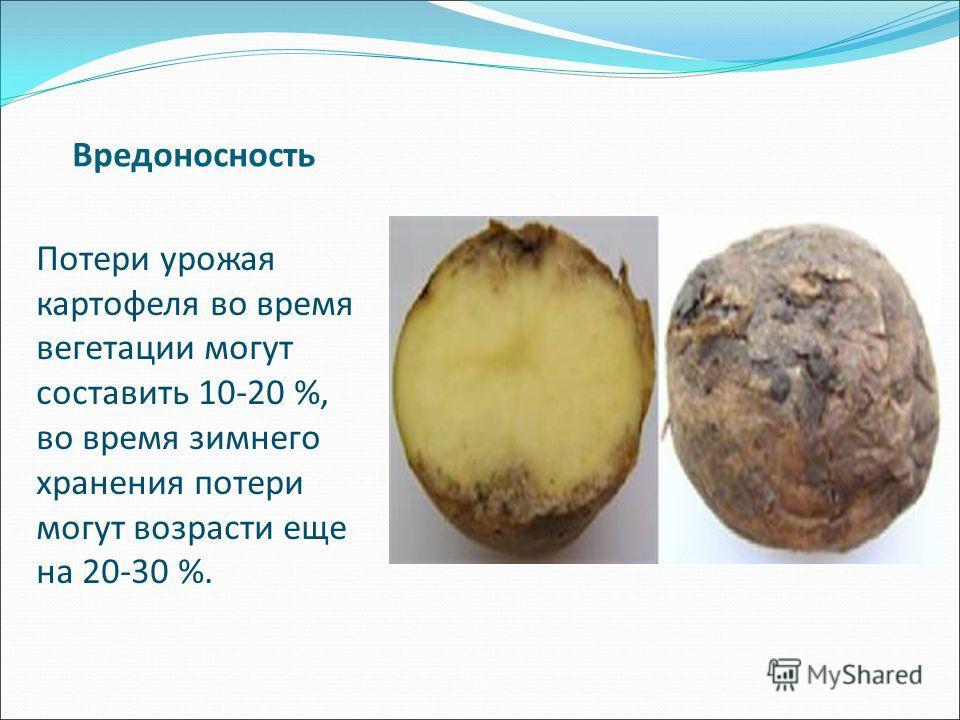 Вредоносность Потери урожая картофеля во время вегетации могут составить 10-20 %, во время зимнего хранения потери могут возрасти еще на 20-30 %.