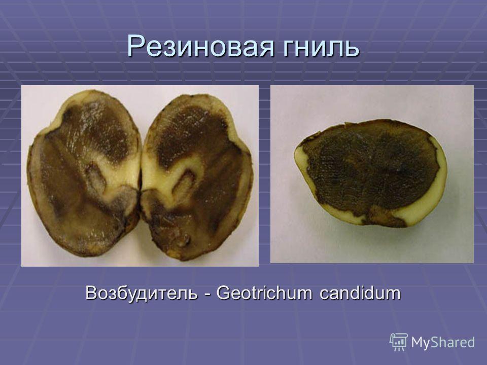 Резиновая гниль Возбудитель - Geotrichum candidum