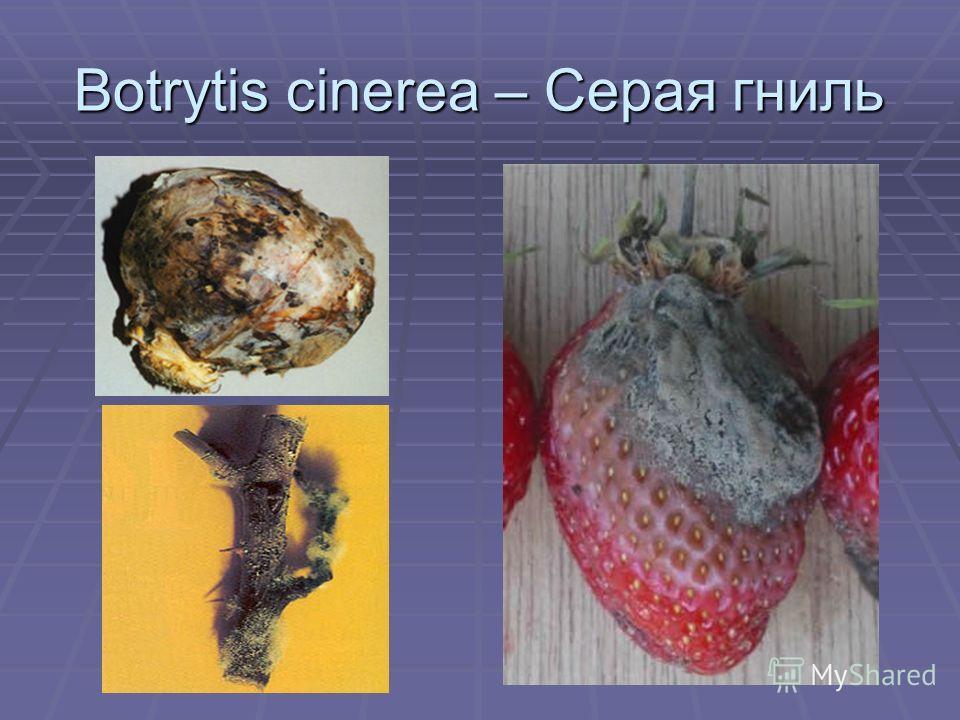 Botrytis cinerea – Серая гниль