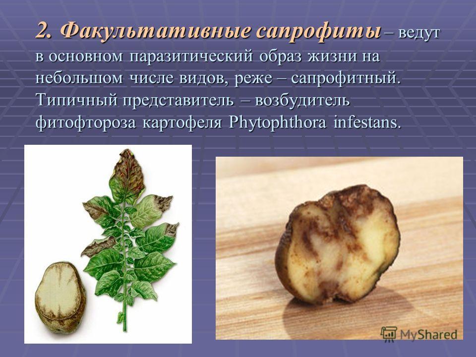 2. Факультативные сапрофиты – ведут в основном паразитический образ жизни на небольшом числе видов, реже – сапрофитный. Типичный представитель – возбудитель фитофтороза картофеля Phytophthora infestans.