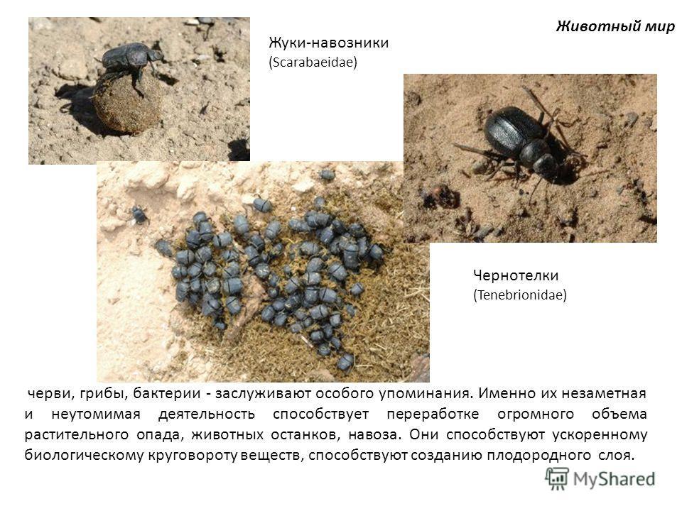 Животный мир черви, грибы, бактерии - заслуживают особого упоминания. Именно их незаметная и неутомимая деятельность способствует переработке огромного объема растительного опада, животных останков, навоза. Они способствуют ускоренному биологическому