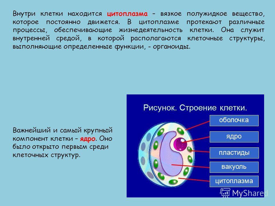 Внутри клетки находится цитоплазма – вязкое полужидкое вещество, которое постоянно движется. В цитоплазме протекают различные процессы, обеспечивающие жизнедеятельность клетки. Она служит внутренней средой, в которой располагаются клеточные структуры