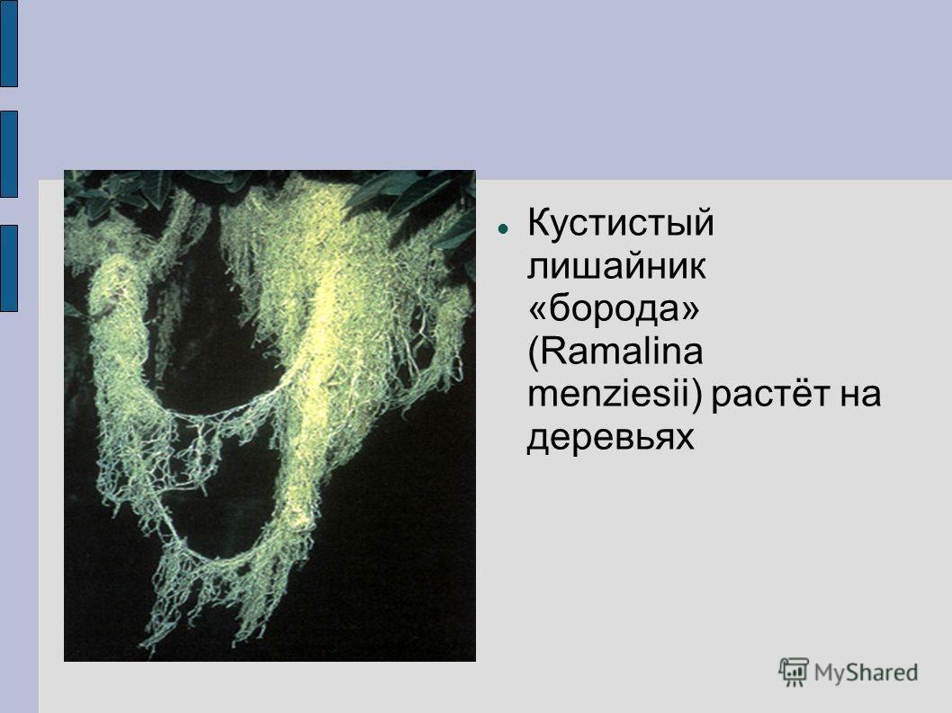 Кустистый лишайник «борода» (Ramalina menziesii) растёт на деревьях
