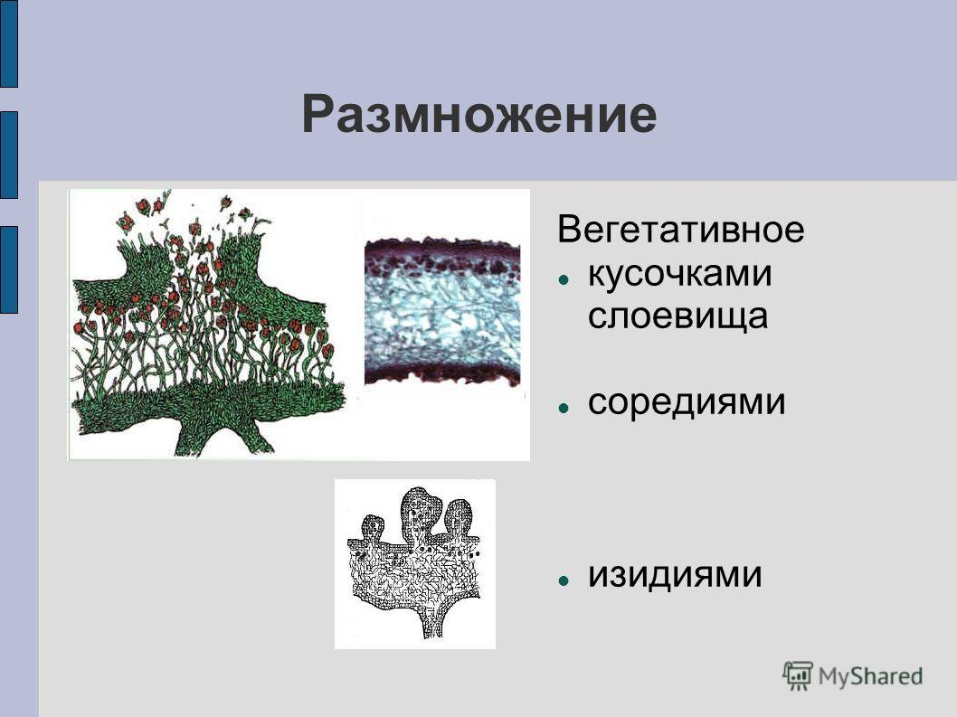Размножение Вегетативное кусочками слоевища соредиями изидиями