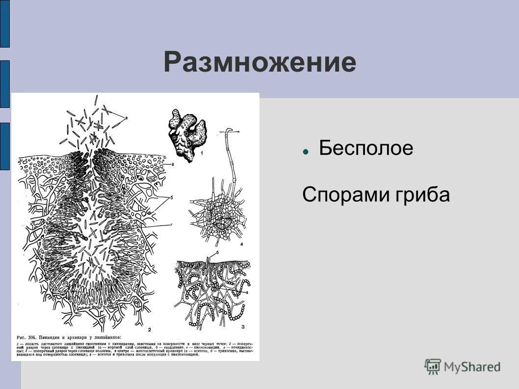 Размножение Бесполое Спорами гриба