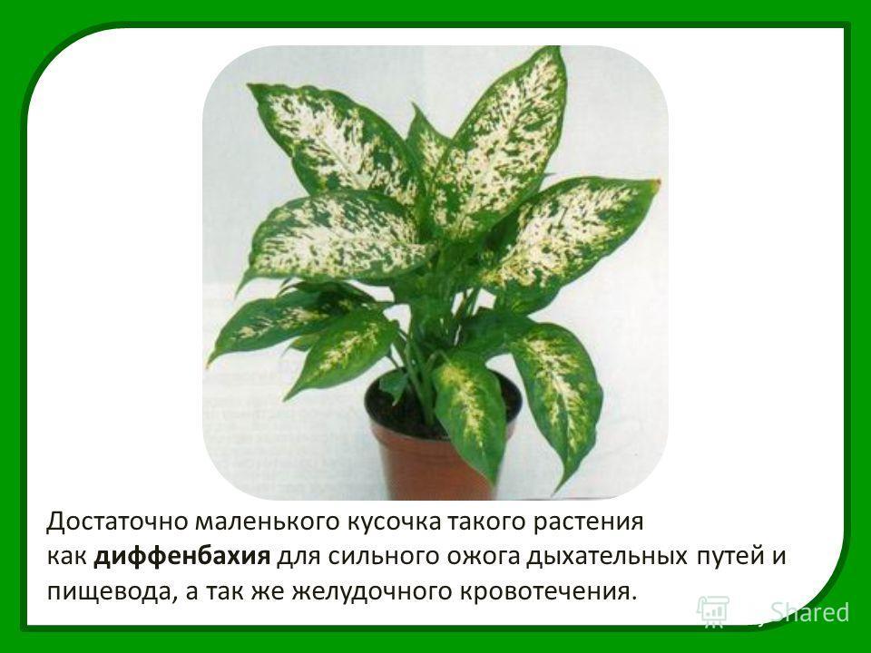 Достаточно маленького кусочка такого растения как диффенбахия для сильного ожога дыхательных путей и пищевода, а так же желудочного кровотечения.
