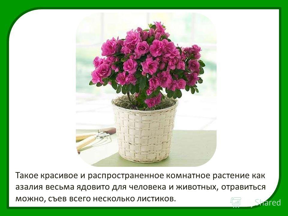 Такое красивое и распространенное комнатное растение как азалия весьма ядовито для человека и животных, отравиться можно, съев всего несколько листиков.