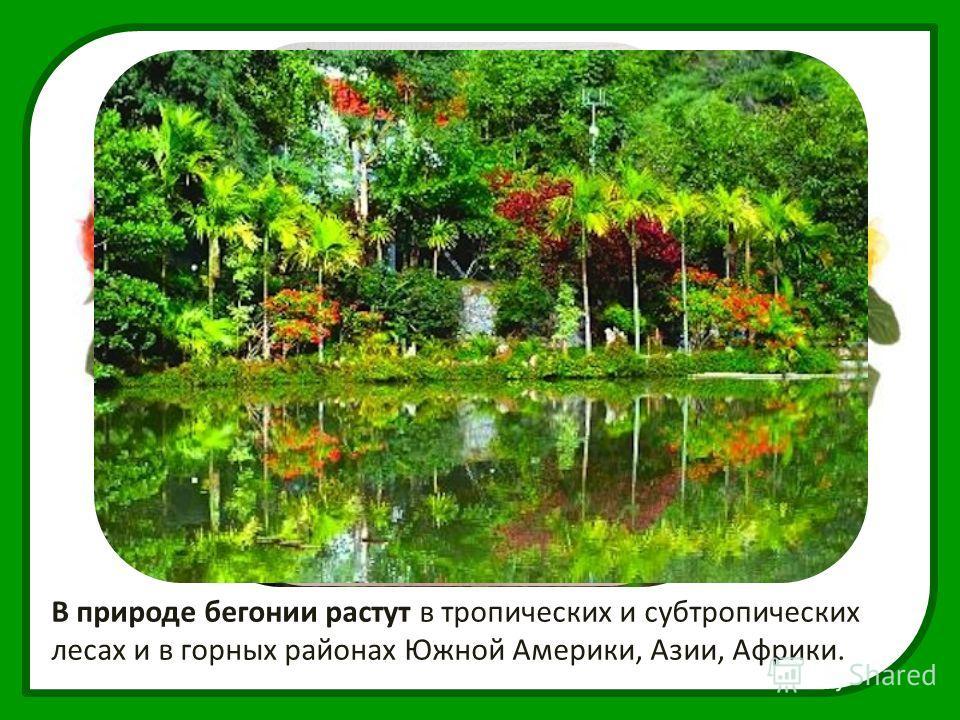 В природе бегонии растут в тропических и субтропических лесах и в горных районах Южной Америки, Азии, Африки.