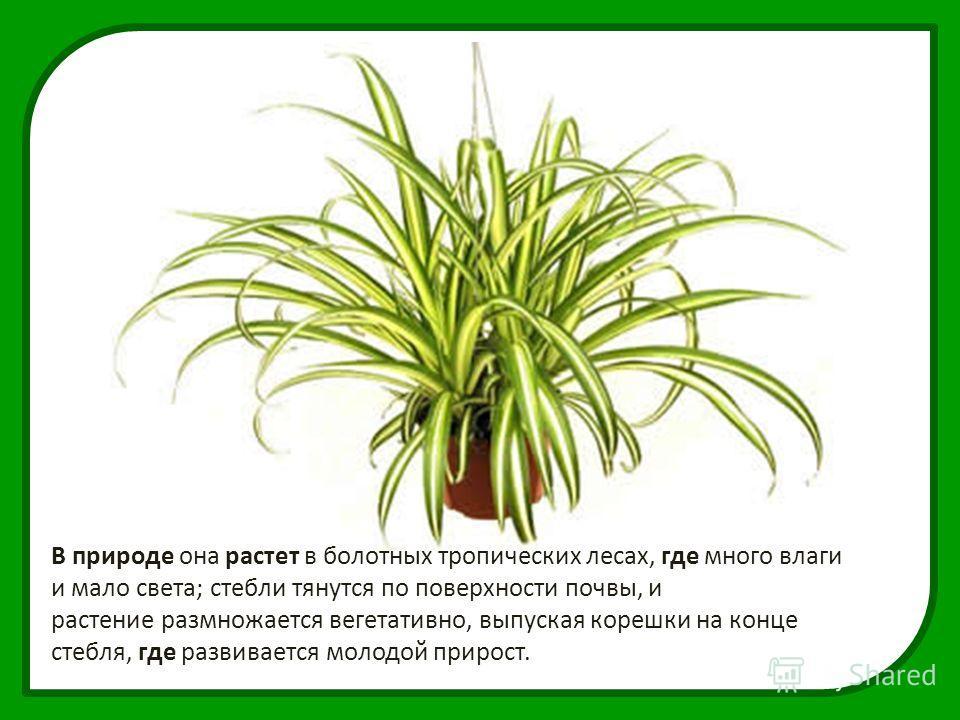 В природе она растет в болотных тропических лесах, где много влаги и мало света; стебли тянутся по поверхности почвы, и растение размножается вегетативно, выпуская корешки на конце стебля, где развивается молодой прирост.