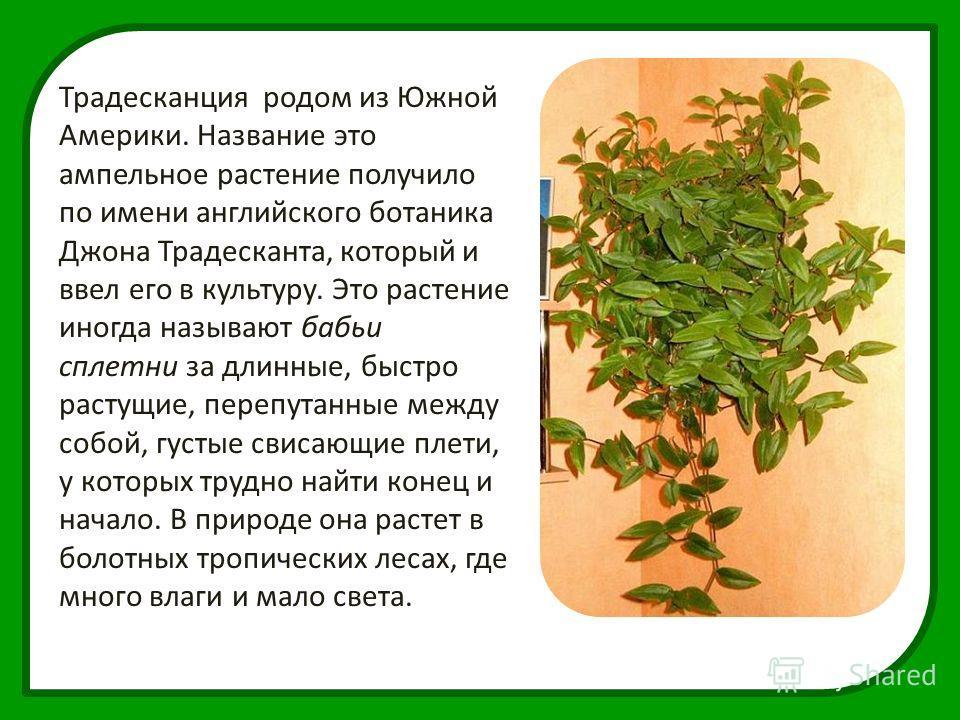 Традесканция родом из Южной Америки. Название это ампельное растение получило по имени английского ботаника Джона Традесканта, который и ввел его в культуру. Это растение иногда называют бабьи сплетни за длинные, быстро растущие, перепутанные между с