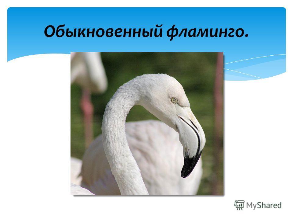 Обыкновенный фламинго.