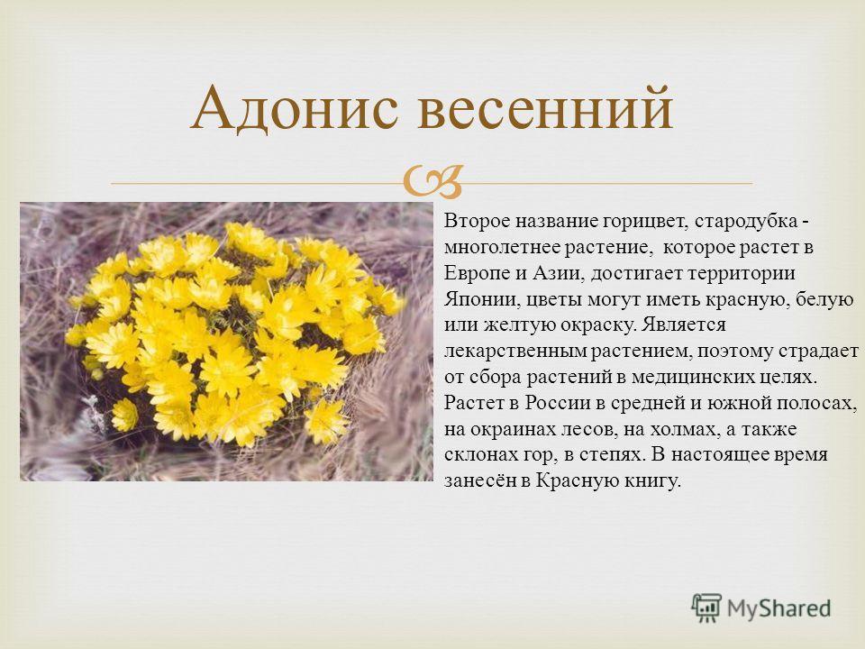 Адонис весенний Второе название горицвет, стародубка - многолетнее растение, которое растет в Европе и Азии, достигает территории Японии, цветы могут иметь красную, белую или желтую окраску. Является лекарственным растением, поэтому страдает от сбора