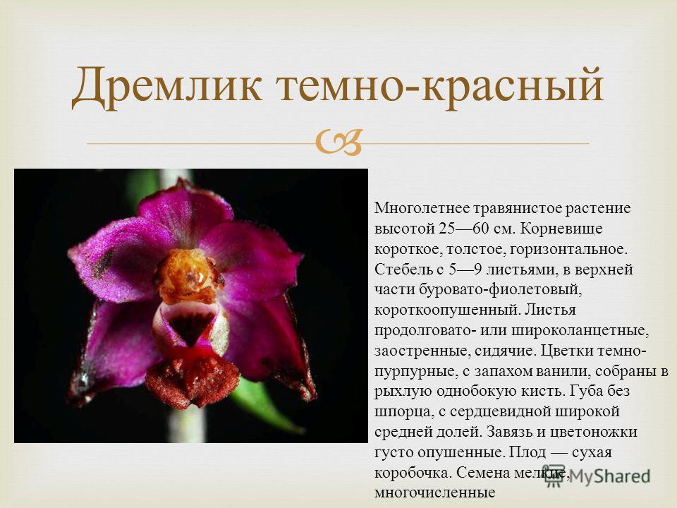Дремлик темно - красный Многолетнее травянистое растение высотой 2560 см. Корневище короткое, толстое, горизонтальное. Стебель с 59 листьями, в верхней части буровато - фиолетовый, короткоопушенный. Листья продолговато - или широколанцетные, заострен