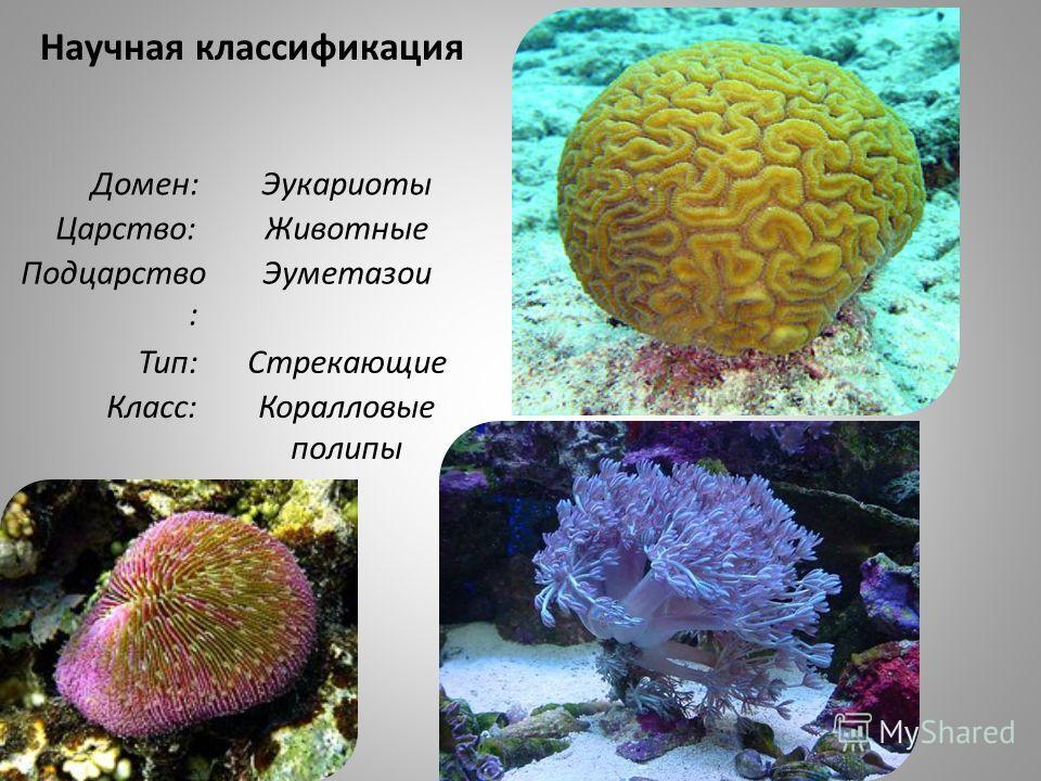 Научная классификация Домен: Эукариоты Царство: Животные Подцарство : Эуметазои Тип: Стрекающие Класс: Коралловые полипы