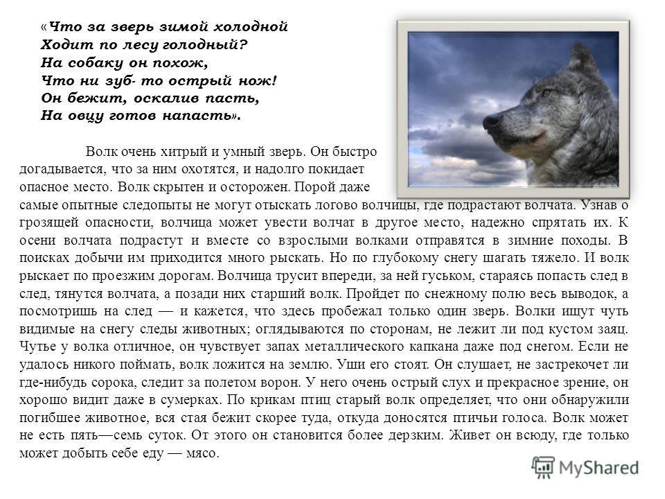 « Что за зверь зимой холодной Ходит по лесу голодный? На собаку он похож, Что ни зуб- то острый нож! Он бежит, оскалив пасть, На овцу готов напасть». Волк очень хитрый и умный зверь. Он быстро догадывается, что за ним охотятся, и надолго покидает опа